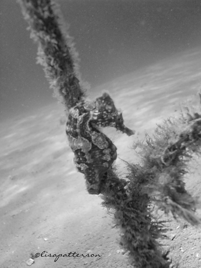 Sea horse seen while diving at Blue Heron Bridge