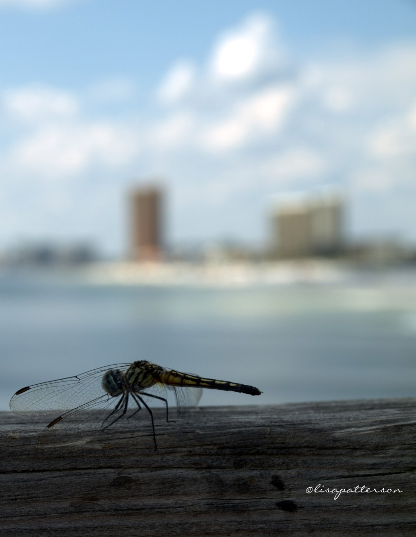 August - local dragon flies are hatched and looking for their next meal of Mosquitos