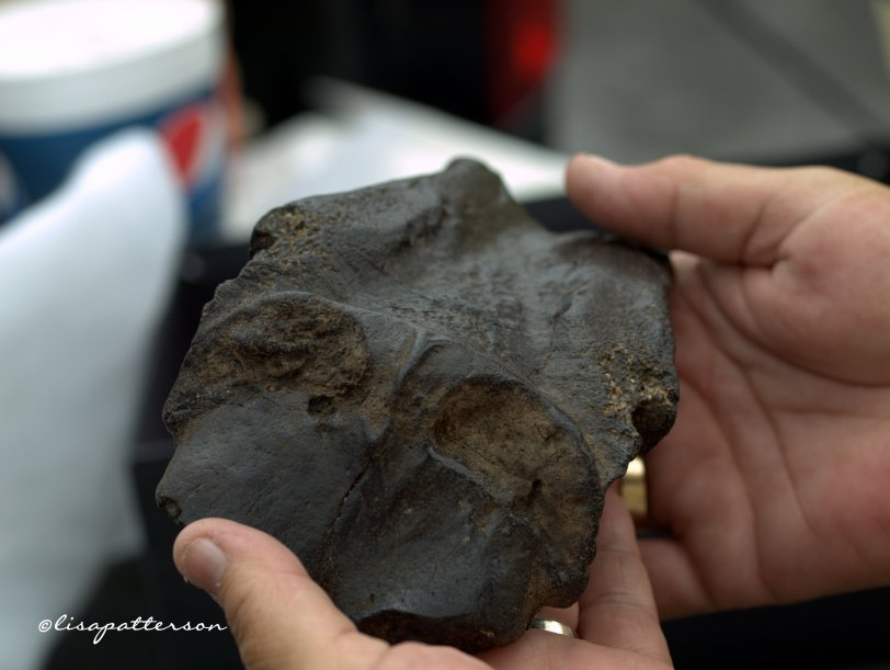Fossilized Skull cap of a Dugon (Manatee)