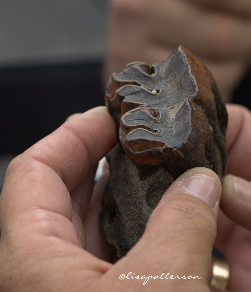 Fossilized Rhino tooth