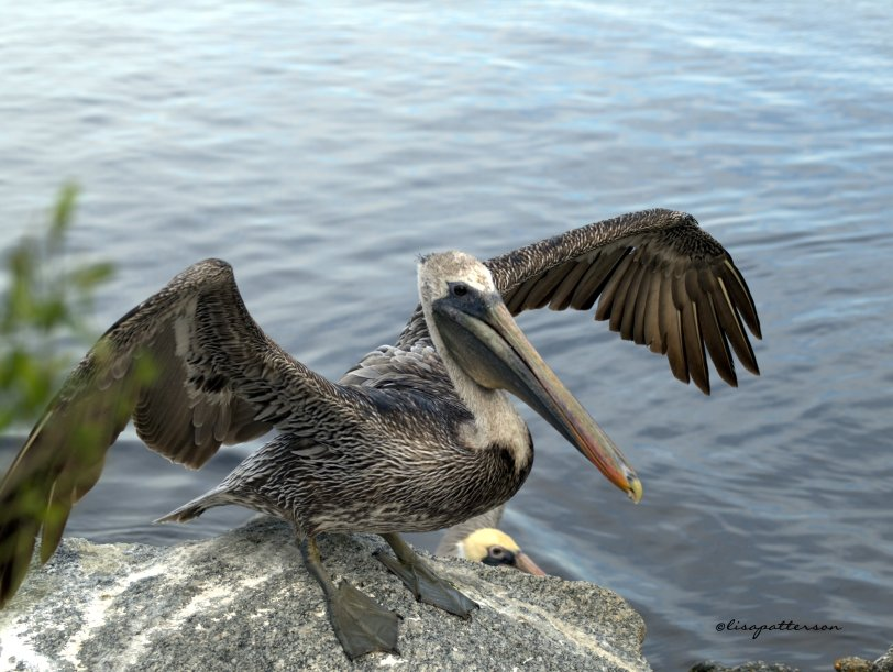 Brown Pelican I belive