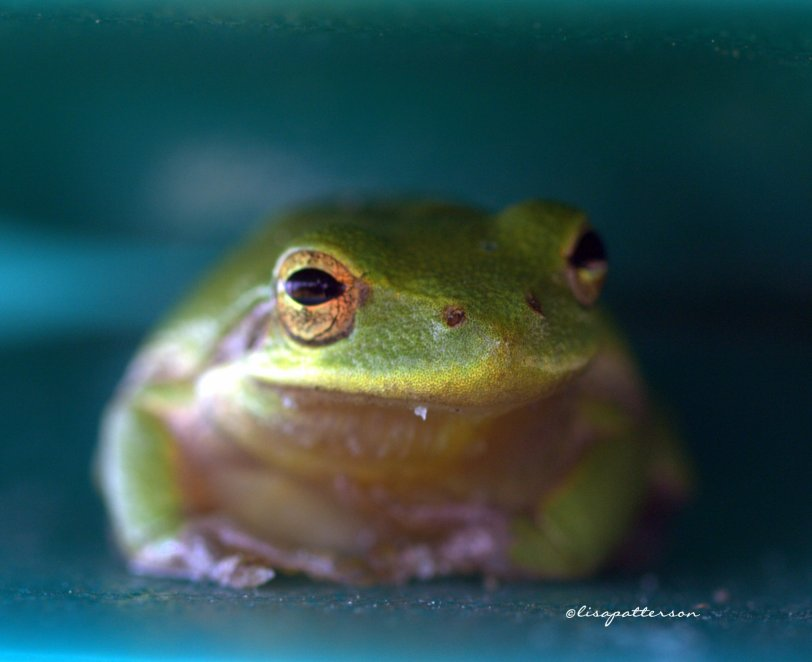 froggys
