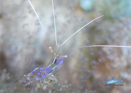 Peterson Shrimp